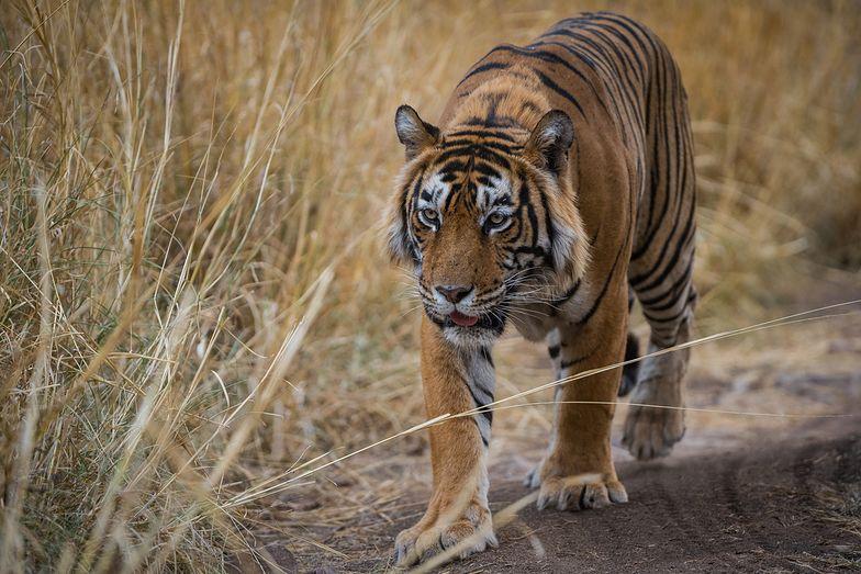 Tygrys przeszedł 1,3 tys. km w poszukiwaniu partnerki