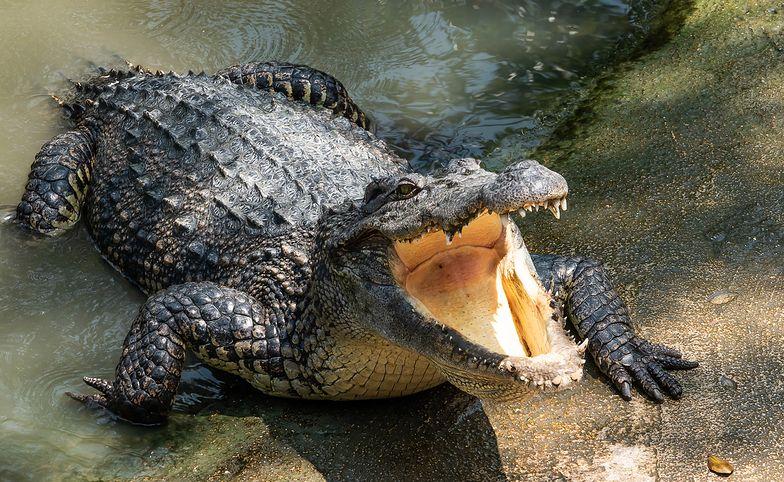 Krokodyl zjadł mężczyznę