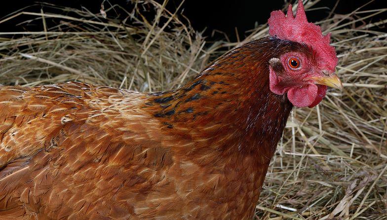 Do utylizacji trafiło do tej pory ok. 100 tys. ptaków.