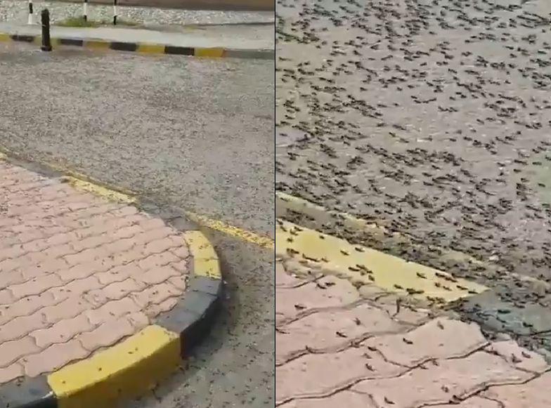 Inwazja mrówek na irańskim punkcie granicznym