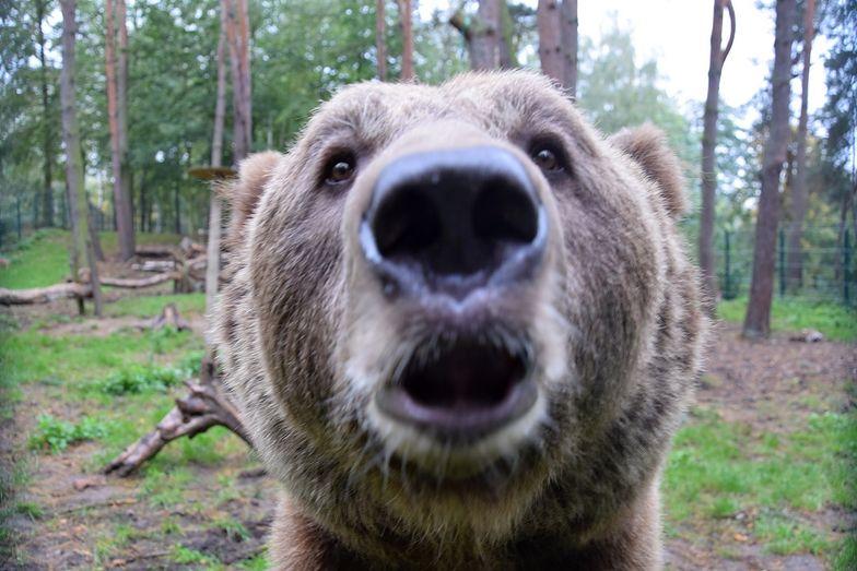 poznań zoo niedźwiedź