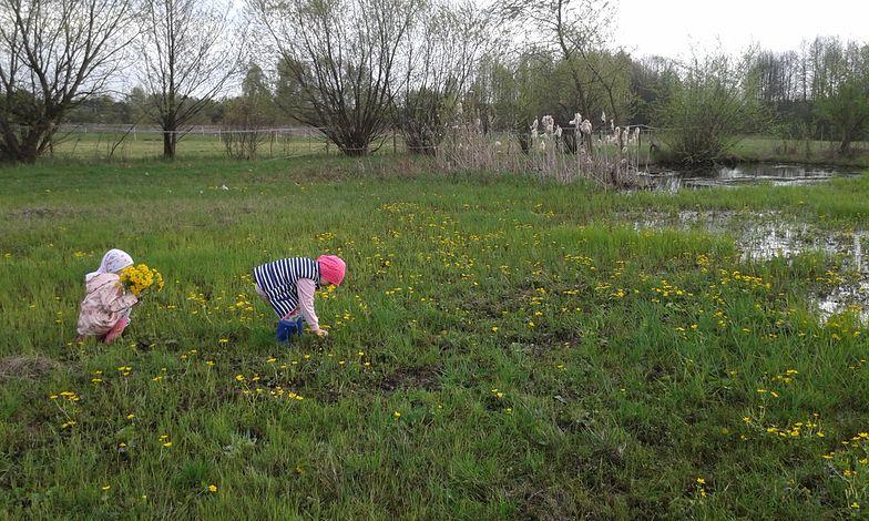 Starzec jakubek rośnie na łąkach i jest niebezpieczny.