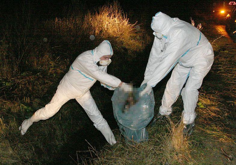 Utylizacja zwierząt chorych na ptasią grypę.