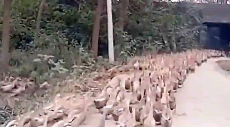 Chiny wyślą do Pakistanu armię kaczek .Ma pokonać plagę szarańczy