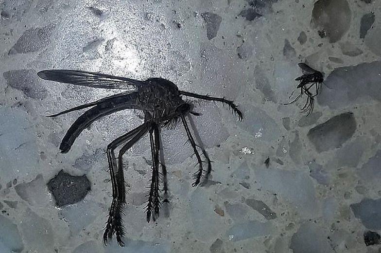Przerażający komar gigant znaleziony w Argentynie
