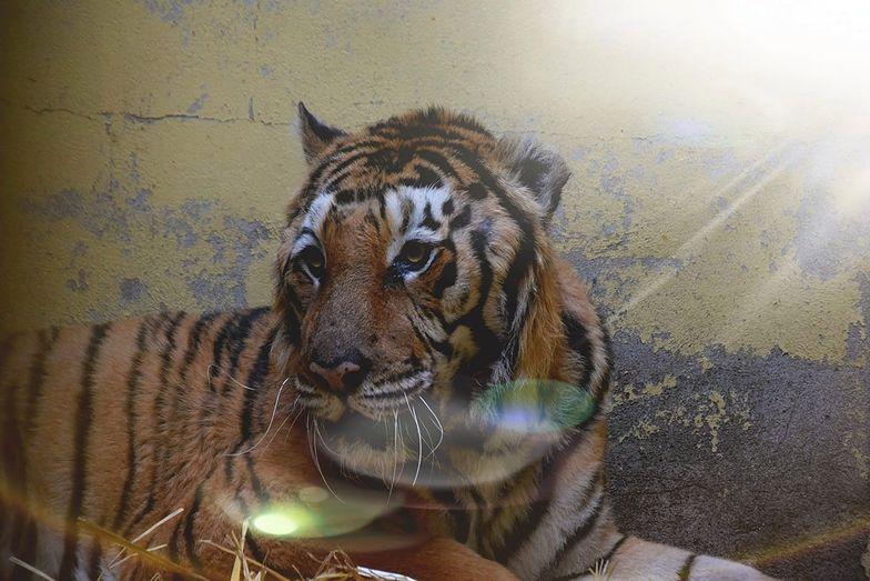 Poznań. Tygrys Gogh po przejściu operacji przewodu pokarmowego czuje się lepiej