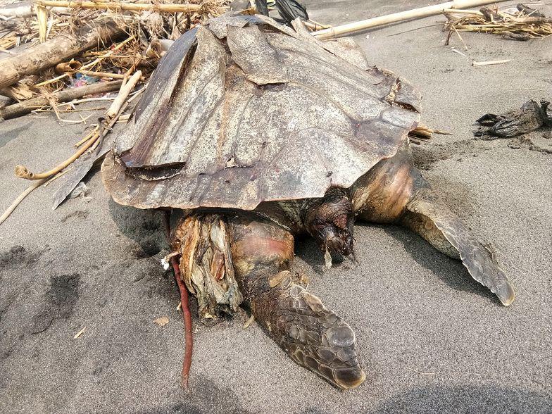 Martwy żółw w Indonezji. Plastiku było tak dużo, że rozerwał mu żołądek