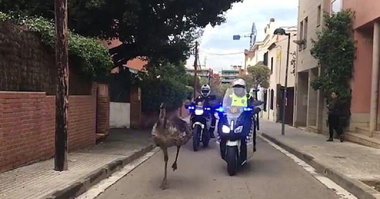 Emu biegało po ulicach miasta. Nie skończyło się to dla niego dobrze