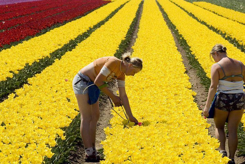 Polki pracujące przy uprawie tulipanów w Zeewolde