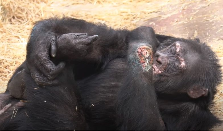 """Szympans po narkotykach w norweskim zoo. """"Jesteśmy w szoku"""""""