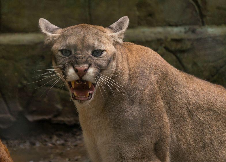 Puma w Łomiankach? Straż miejska apeluje do mieszkańców