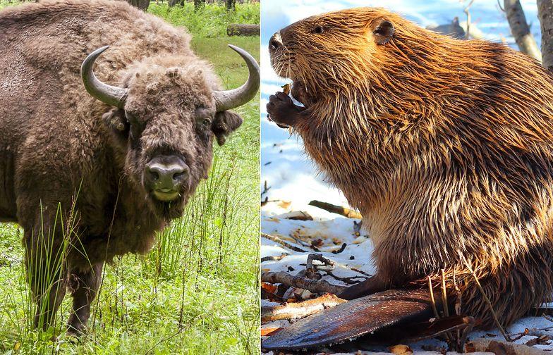 Rząd chce strzelać do bobrów i żubrów