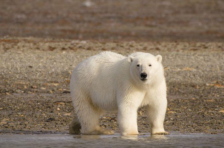 Alarm w Rosji. Niedźwiedzie polarne wchodzą do domów i atakują