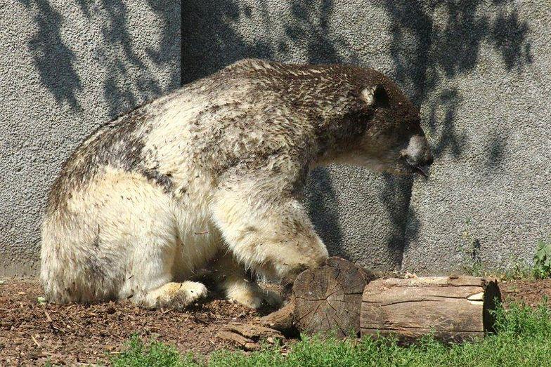 warszawskie zoo niedźwiedź polarny