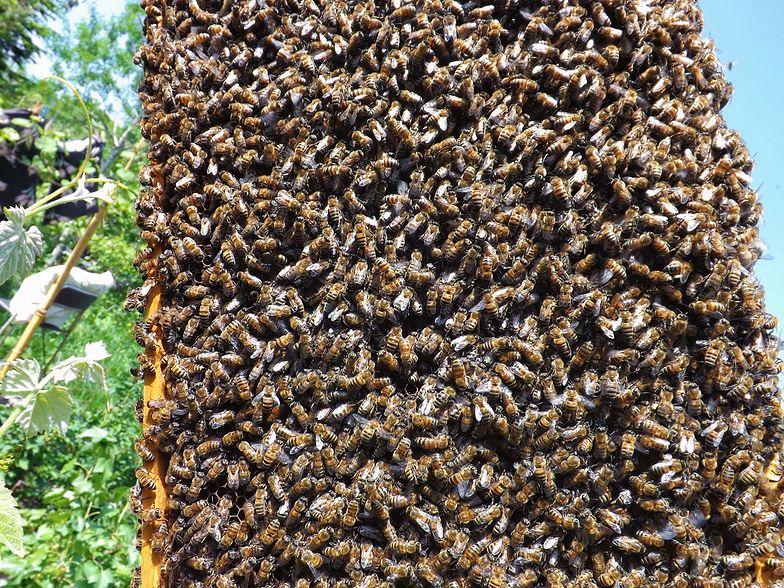 80 tysięcy pszczół w ścianie. Właściciele narzekali na dziwny hałas