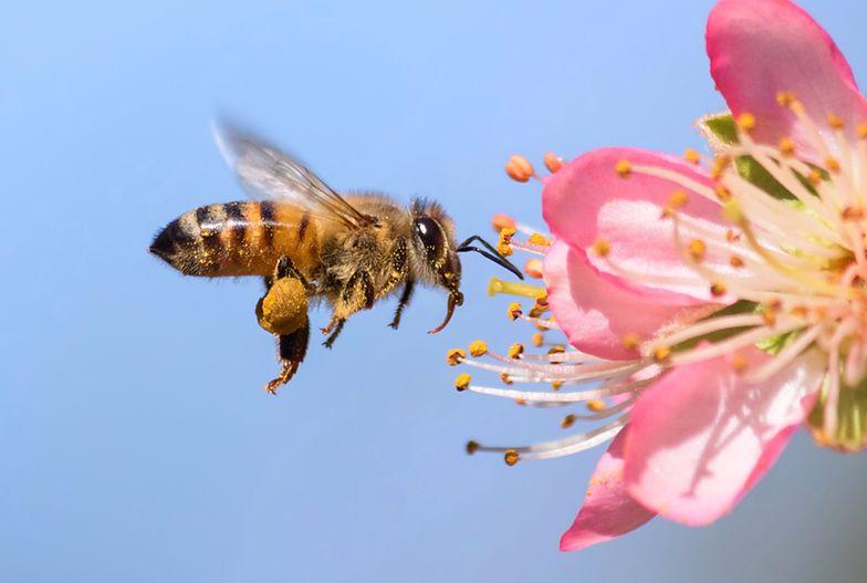 Gdy pszczoła użądli w tę część ciała boli najbardziej