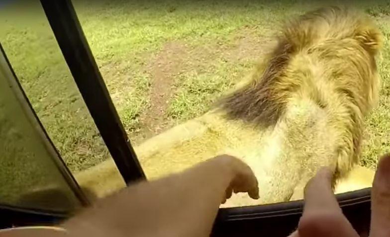 Turysta próbował pogłaskać lwa. Musiało się tak skończyć