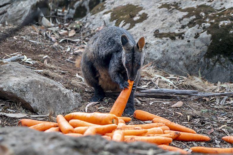 Pożary w Australii. Zwierzęta umierają. Władze zrzucają z powietrza marchewki