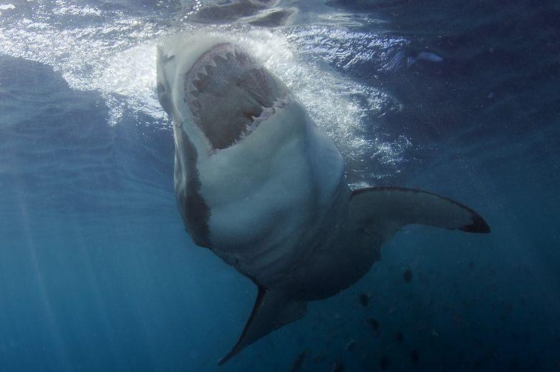 Boją się ich nawet rekiny. Szybko uciekają i nie wracają przez rok