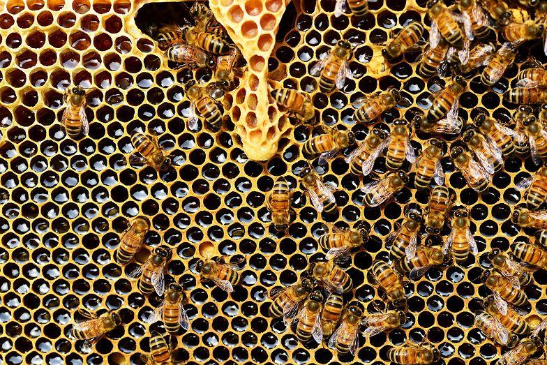 Przełomowe odkrycie w walce z rakiem piersi. Jad pszczół zabija komórki nowotworowe