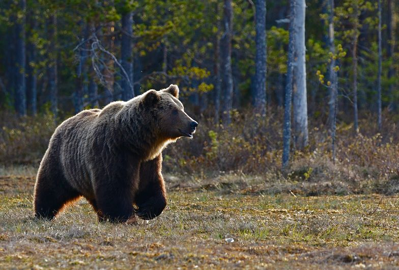 Niedźwiedź skazany na śmierć. Zaatakował ojca i syna