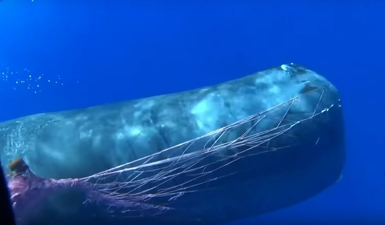 """""""Wieloryb oszalał"""". Dramatyczna akcja ratunkowa u wybrzeży Sycylii"""