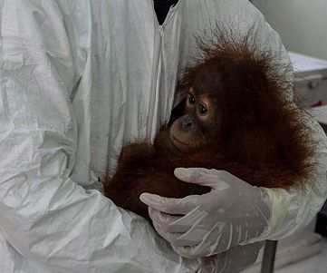 W niemieckim zoo zmarł orangutan. PETA twierdzi, że miał koronawirusa