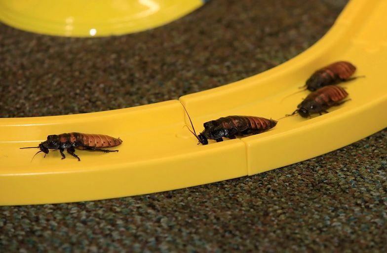 Plaga karaluchów w Warszawie. Mieszkańcy mają już dość