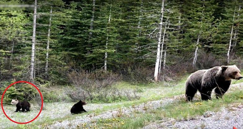 Biało-brązowy niedźwiadek z Kanady