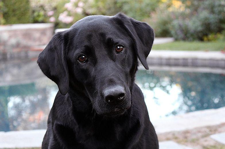 Psy mają niezwykłą umiejętność. Wykrywają koronawirusa