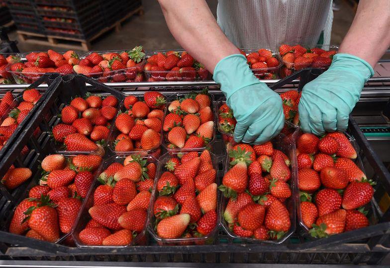 Sprzedawcy truskawek oszukują
