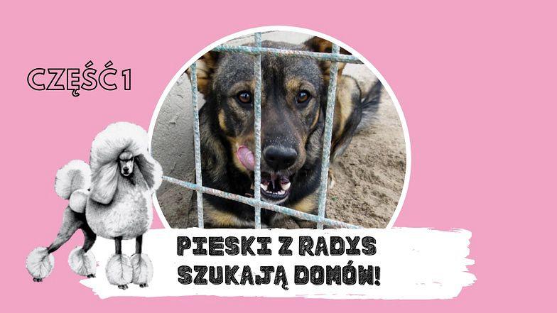 Pudelek szuka domu dla psiaków ze schroniska w Radysach