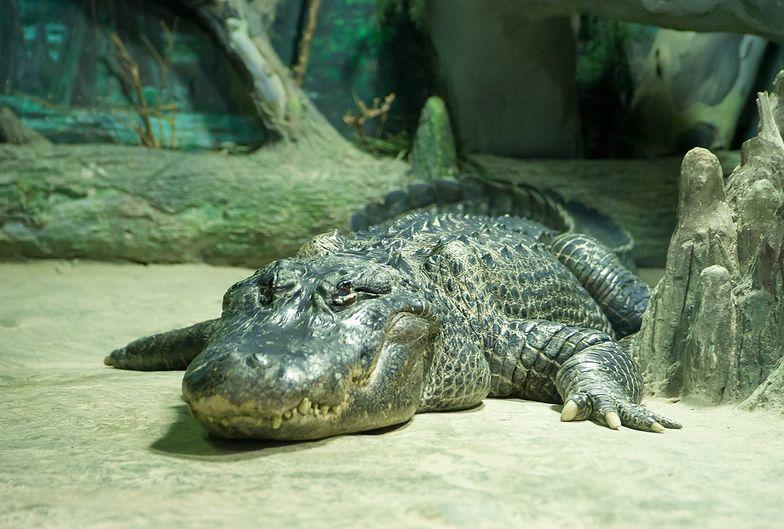 Aligator przeżył bombardowanie Berlina w czasie II wojny światowej.