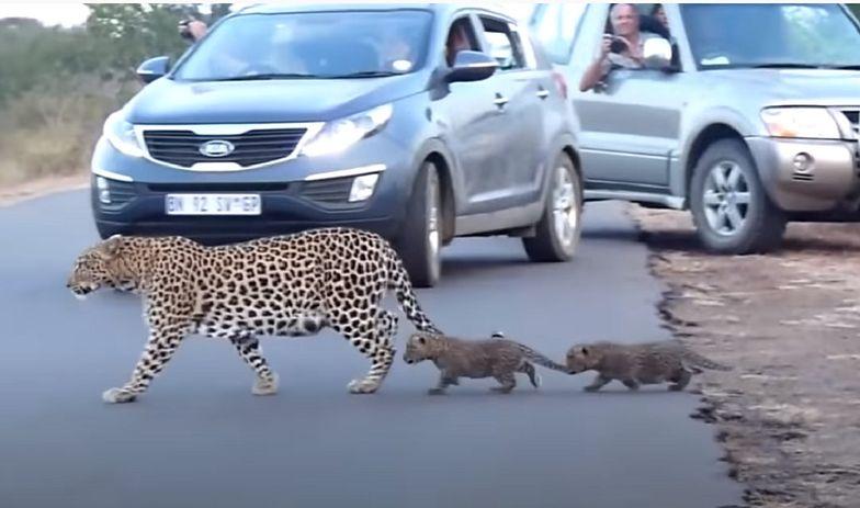 Samica lamparta przeprowadza przez jezdnię swoje młode.