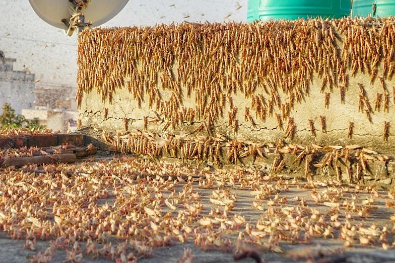 Mieszkańcy Indii zmagają się z falą upałów oraz inwazją szarańczy