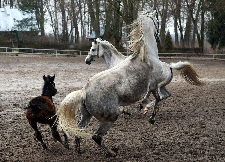 Aukcja koni Pride of Poland ma przynieść 2,5 mln euro. ANR przedstawia szacunki