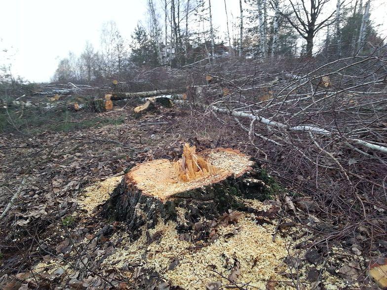Wycinka drzew do poprawy. Prezes PiS przyznaje: doszło do nadużyć