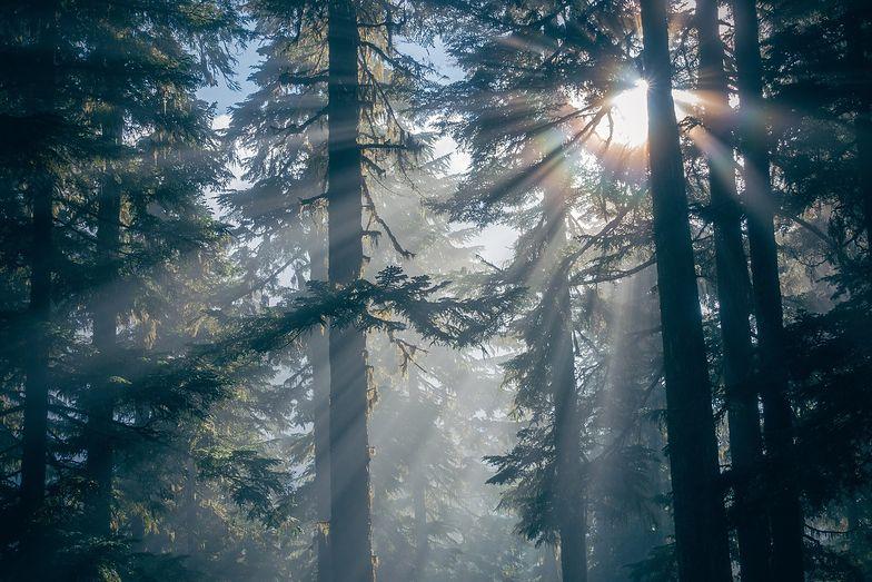 Pochłanianie dwutlenku węgla przez lasy - to polski pomysł na walkę ze zmianami klimatycznymi. Mają w tym pomóc leśne gospodarstwa