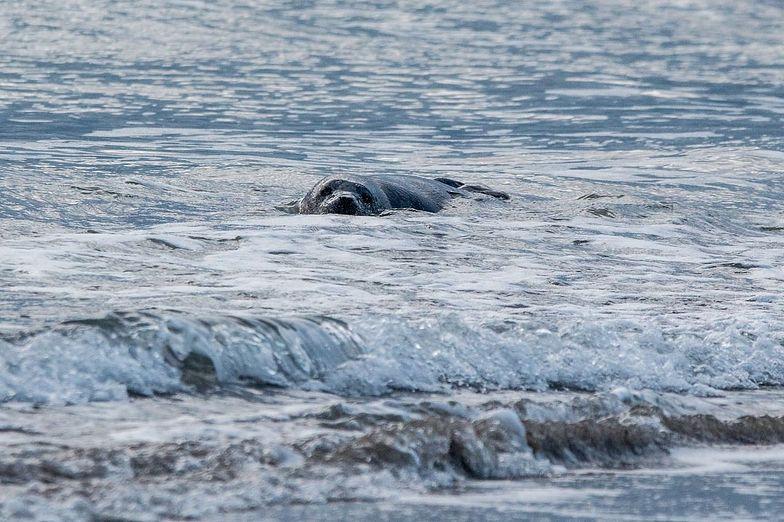 Dla jednych foka jest niewinną ofiarą, dla drugich – złodziejem ryb