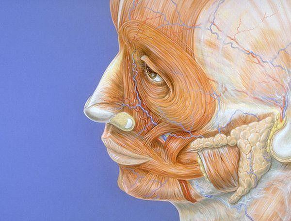 Atlas Anatomiczny Ludzka Twarz Atlas Anatomiczny Wp Abczdrowie