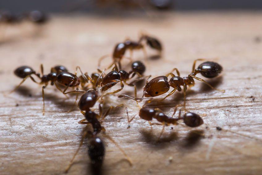 Naturalne Metody Na Pozbycie Się Mrówek Z Domu I Ogrodu