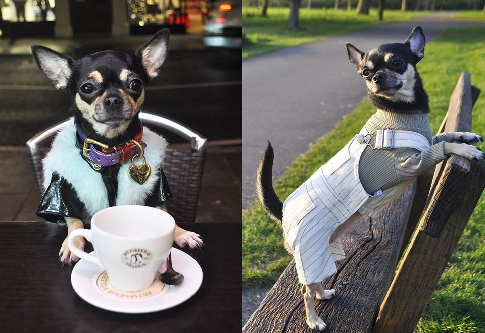 """2Dolly Pawton - chihuahua, która robi """"karierę"""" na Instagramie"""