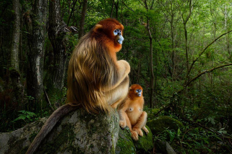 Uchwycona w górach Qin Ling, w środkowych Chinach, para rokselan złocistych - małp z gatunku koczkodanowatych, która obserwujące sprzeczkę pomiędzy dwoma samcami przyniosła Marselowi van Oosten zwycięstwo w konkursie Wildlife Photographer of the Year 2018. Pokonał on ponad 45 tysięcy zgłoszeń.