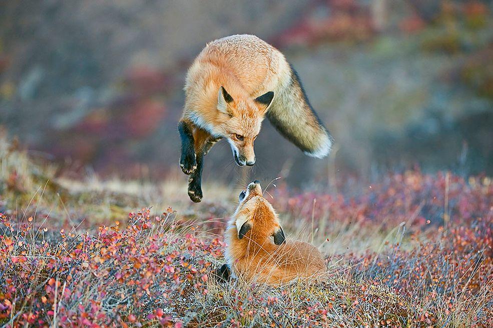 Wyróżnienie w kategorii Wildlife, profesjonalista. Na zdjęciu lisy w Parku Narodowym Denali na Alasce. Konkurs jest podsumowaniem wprowadzeniem w życie aktów prawnych chroniących amerykańską przyrodę pod nazwą Wilderness Act.