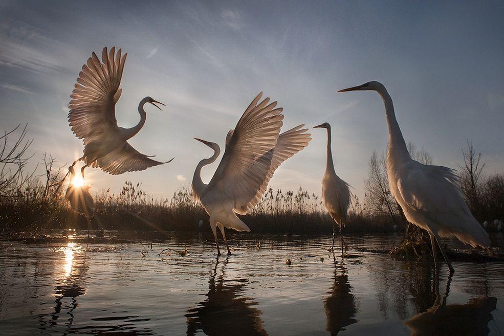 Zmienne losy Czapli Egretty, są dowodem na sukces ochrony środowiska na terenach Węgier. Agresywne kłusownictwo dla celów ozdobnych doprowadziło prawie do wyginięcie tego gatunku. W 1921 roku ostatnia kolonia liczyła zaledwie 31 par. Międzynarodowa współpraca w celu zachowania tego pięknego ptaka w naturalnym środowisku doprowadziła do zwiększenia populacji tych ptaków do 3000 par na Węgrzech.