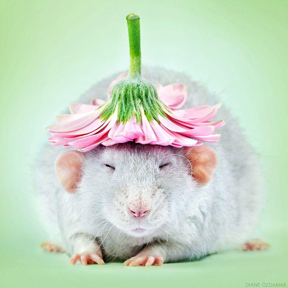 Diane Özdamar zajmuje się fotografią od około 12 lat, natomiast w 2008 roku zaczęła fotografować szczury. Wszystko miało swój początek w chęci pomocy w znalezieniu nowego domu dla porzuconych zwierząt. Niedługo po opublikowaniu pierwszych efektów pracy, Diane zauważyła, że nie tylko udało jej się znaleźć nowych opiekunów dla szczurów, ale obrazy wpłynęły również na ocieplenie wizerunku gryzoni.