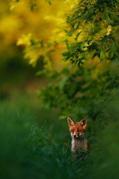 """1 Zwycięzca całego konkursu oraz kategorii Ssaki - """"Wieczorna idylla"""" z lisem w świetle zachodu słońca, fot. Hermann Hirsch  © GDT Nature Photographer of the Year 2013"""