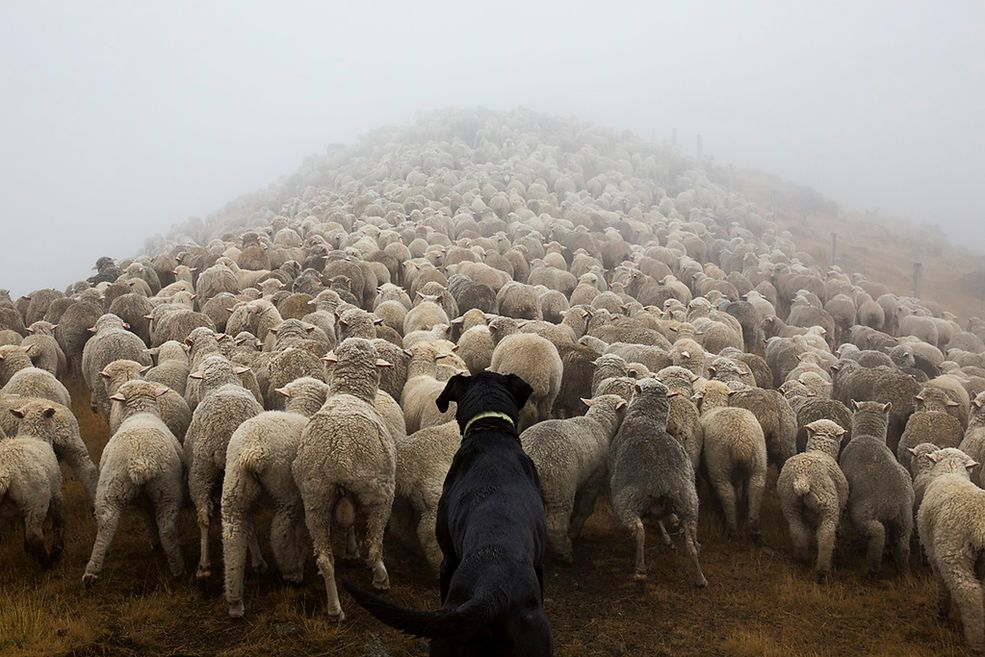 W Nowej Zelandii psy pasterskie są nieodzownym elementem krajobrazu od XIX wieku, kiedy to pierwszy Border coli zawitał na wyspy.