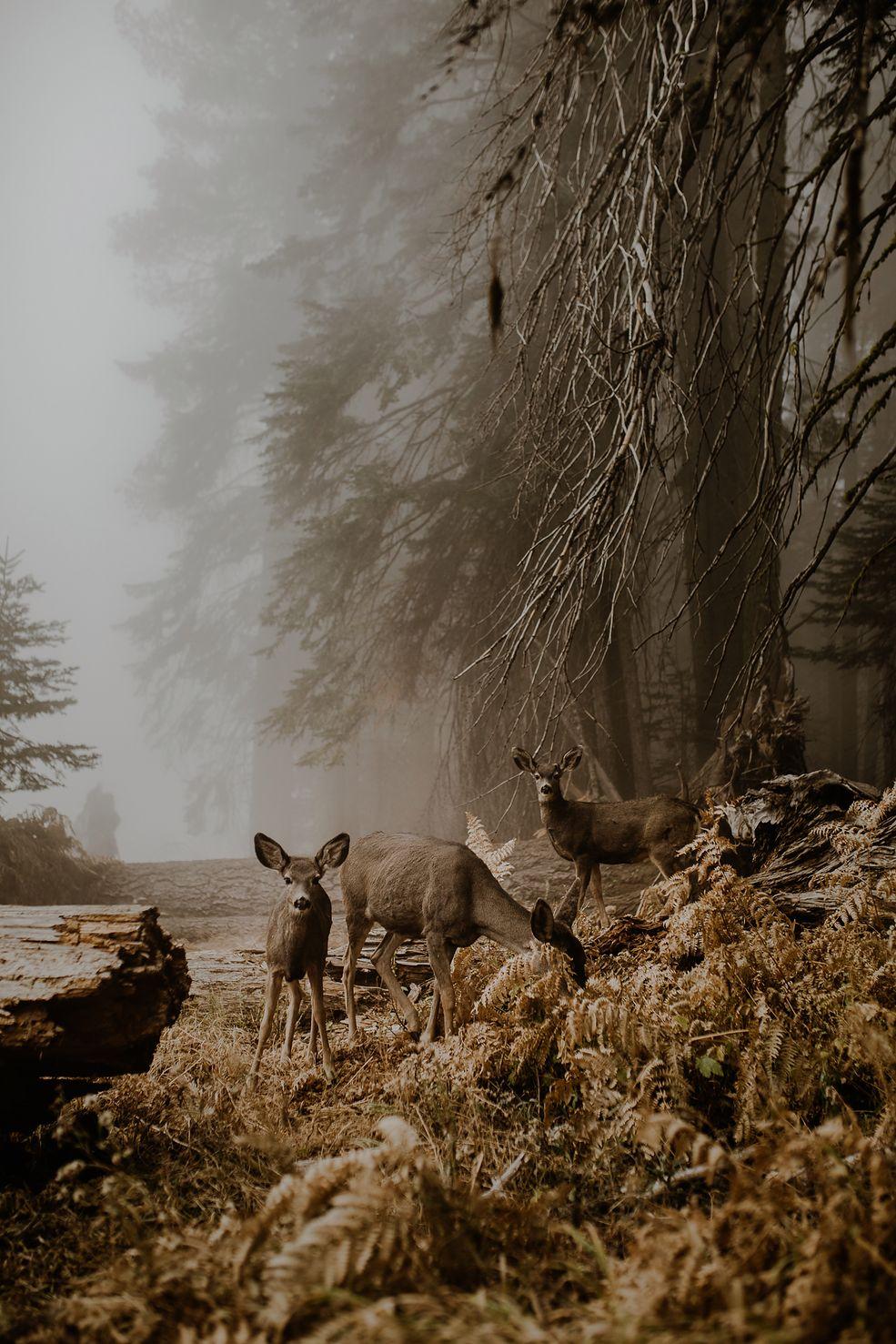 """Marcin Watemborski: Twoje zdjęcie zajęło pierwsze miejsce w kategorii """"Wildlife"""" w konkursie otwartym, a ty zdobyłaś nagrodę National Awards w konkursie Sony World Photography Awards 2018. Mogłabyś opowiedzieć historię jego powstania?  Justyna Zduńczyk: To zdjęcie zrobiła w Sequoia National Park w Kaliforni, w Stanach Zjednoczonych. Tuż przed tym, jak mieliśmy wyjeżdżać, zobaczyłam cudowną polanę i złapałam aparat. Poprosiłam mojego narzeczonego, by chwilę poczekał i pobiegłam zrobić zdjęcie.   Zrobiłam kilka zdjęć i usłyszałam trzask gałązek. Nogi się pode mną ugięły, ponieważ w tym parku narodowym mieszkają niedźwiedzie, które są bardzo niebezpieczne i trzeba na nie uważać. Była mgła i zupełnie nie wiedziałam, co za zwierze może mnie za chwilę zaatakować. Na szczęście okazało się, że były to mulaki, które też tam żyją.   Jeden z nich był bardzo ciekawski. Podszedł do mnie i stanął nos w nos. Powąchał mnie i poszedł sobie dalej. Chwilę później dołączyły inne jelonki i zapozowały do portretu rodzinnego. Udało mi się go spokojnie sfotografować, a zwierzęta jadły w tym czasie kolacje – nie uciekały. Siedziałam tam chwilę z nimi – to było przepiękne. Dobrze to wspominam i dlatego uwielbiam to zdjęcie."""