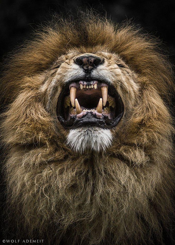 1 Niemiecki fotograf Wolf Ademeit  od 9 lat fotografuj zwierzęta w lokalnych ZOO. W jego niezwykłych portretach możemy dostrzec ludzką naturę drzemiącą w sfotografowanych zwierzętach - skupione miny, groźne gesty, intrygujące spojrzenie. ©  Wolf Ademeit /  www.wolfademeit
